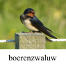 IMG_boerenzwaluwklein