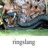 ringslangklein