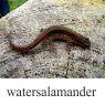 watersalamanderklein