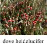 IMG_heideluciferklein