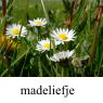 IMG_madeliefjeklein