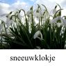 IMG_sneeuwklokjeklein