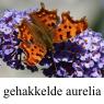 IMG_aureliaklein