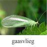 gaasvlieg-klein