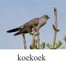 koekoek-klein