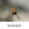 kruisspin-klein